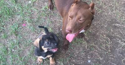 Ein Pitbull und ein Dackel bekommen ein Baby und es sieht unglaublich aus