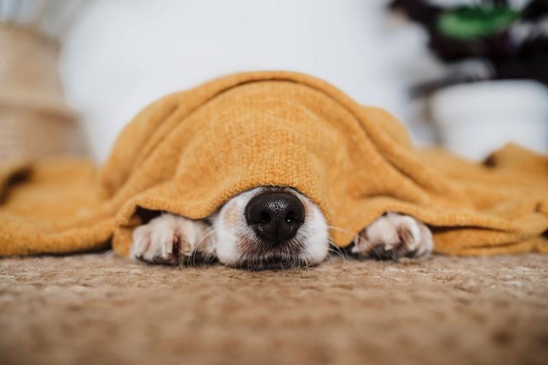 Die teuerste Hunderasse der Welt ist der Tibetmastiff