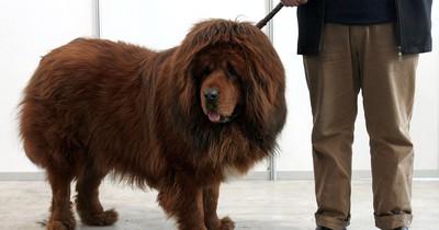 Das ist die teuerste Hunderasse der Welt