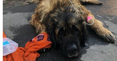 Grausamer Hitzetod! Drei Hunde sterben qualvoll im überhitzten Auto
