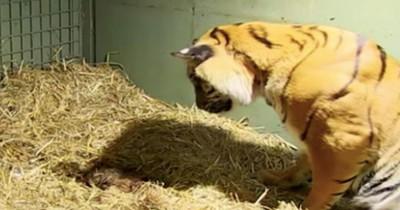 Tiger-Mutter kriegt ein lebloses Baby - Doch ihr Mutterinstinkt lässt alle staunen