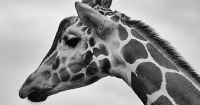 Verzweifelte Giraffen-Mutter rettet ihr 1 Tag altes Baby vor einem Löwen