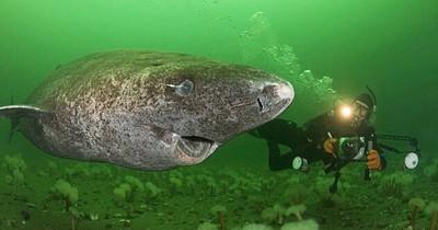 Wissenschaftler finden 512 Jahre alten Hai und so sieht er aus