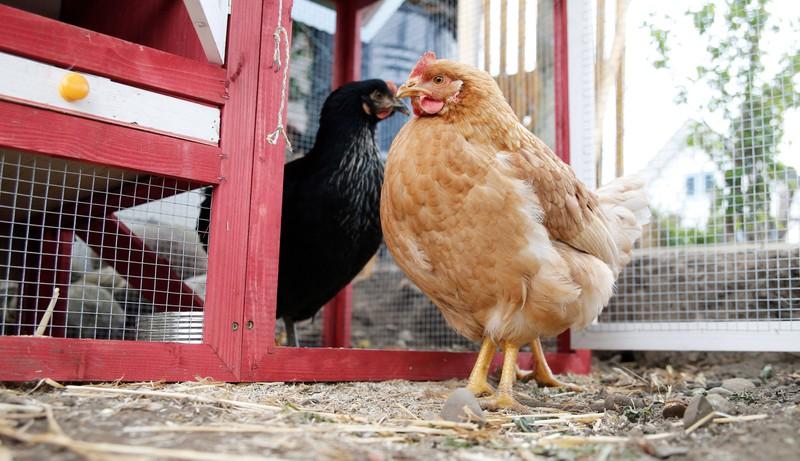Das Huhn ist mit dem Tyrannosaurus rex verwandt!