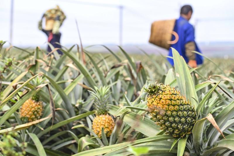 Nur die wenigsten wissen, dass die Ananas auf dem Boden wächst!