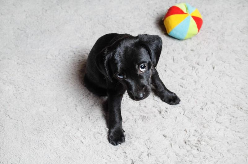 Ein Hund sitzt auf einem weißen Teppich neben einem bunten Ball