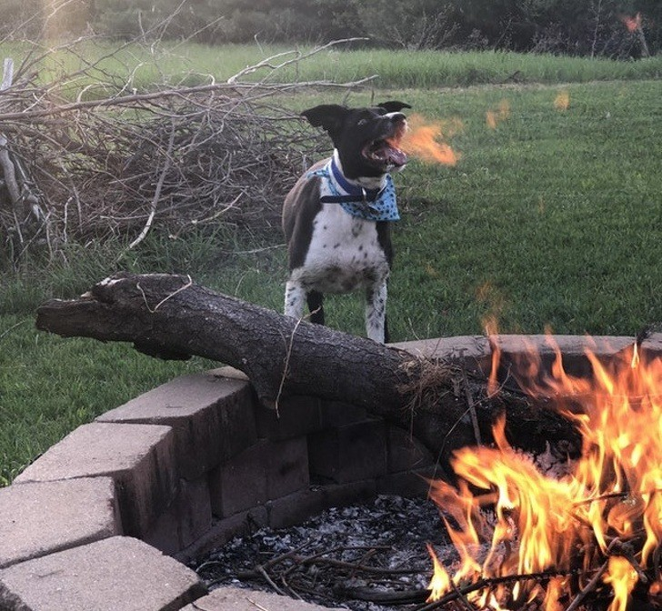 Daenerys Targaryen hätte ihre Freude an diesem feuerspeienden Hund.