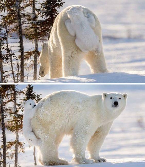 Der kleine Eisbär weiß, wie er seine Mama reinlegt.
