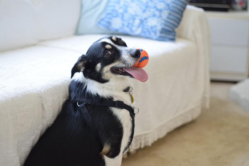 Dieses Bild zeigt einen Hund, der mit einem kleinen Hundespielzeugt spielt.