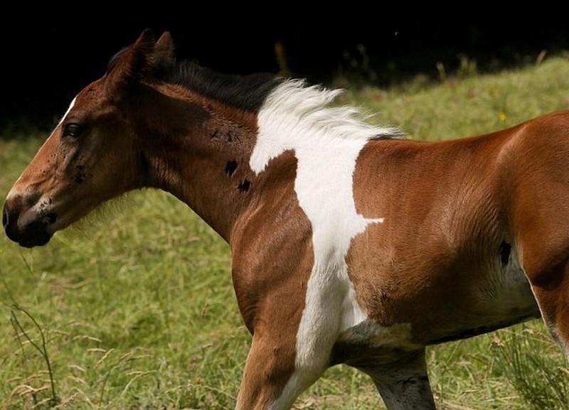Fohlen mit Pferdefleck