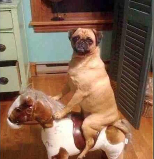 Erwischt wurde der Hund auf frischer Tat auf einem Pferd sitzend.