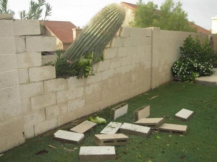 Man sieht einen Kaktus, der auf das Grundstück des Nachbarn fällt und die Mauer zerstört
