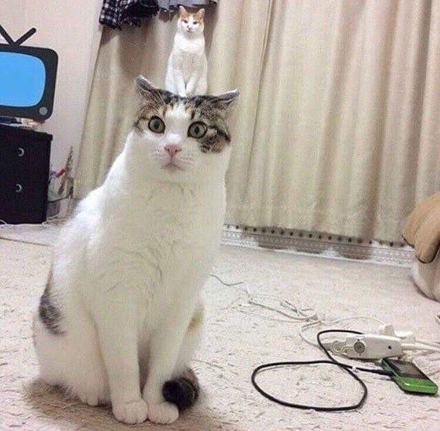 Hier sieht es so aus, als würde eine kleine Katze auf dem Kopf einer großen Katze sitzen.