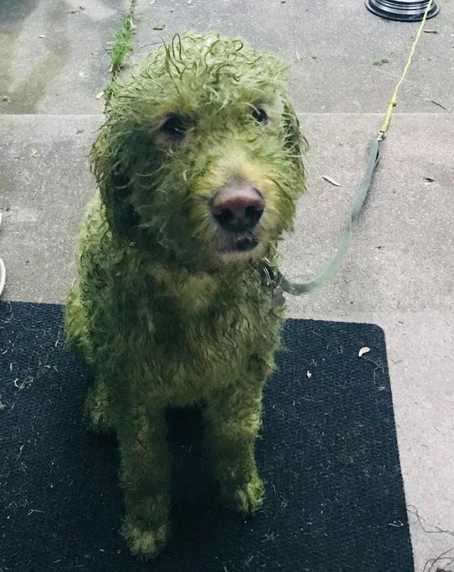 Der Reddit Nutzer machte einen Fail, in dem er seinen Hund nach dem Rasenmähen rausließ. Der Hund ist nun grün.