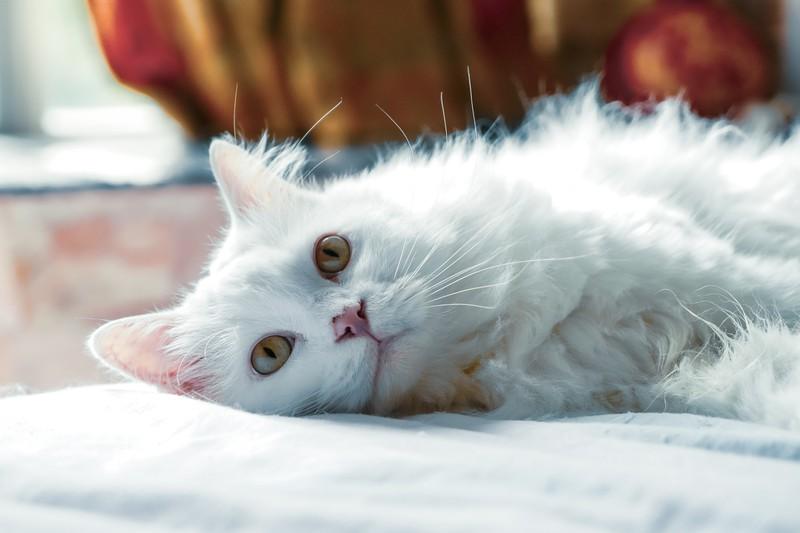 Eine Katze mit weißem Fell, wegen der sich ein Paar scheiden ließ