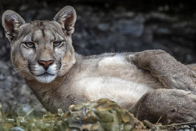 Ein Puma würde man auf seinem Spaziergang abends wohl auch nicht erwarten, manche Begegnungen sind daher wirklich komisch.