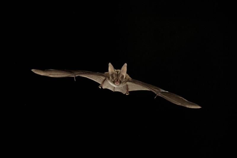 Wenn man sich abends ein wenig die Beine vertritt, erwartet man nicht, dass man auf eine seltsam große Fledermaus trifft.