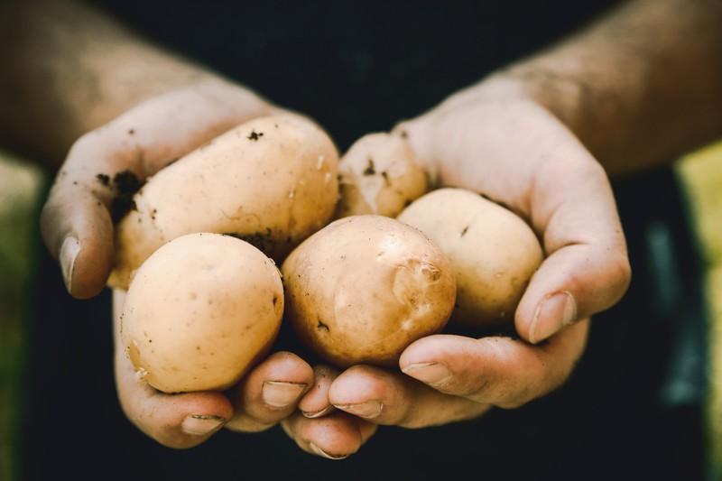 Man sieht Kartoffeln, die ein Kunde sich mal von einem Tätowierer stechen lassen wollte