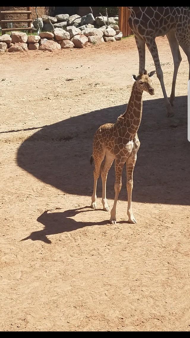 Die Giraffe wirft einen Schatten, der aussieht wie ein kleines Einhorn.