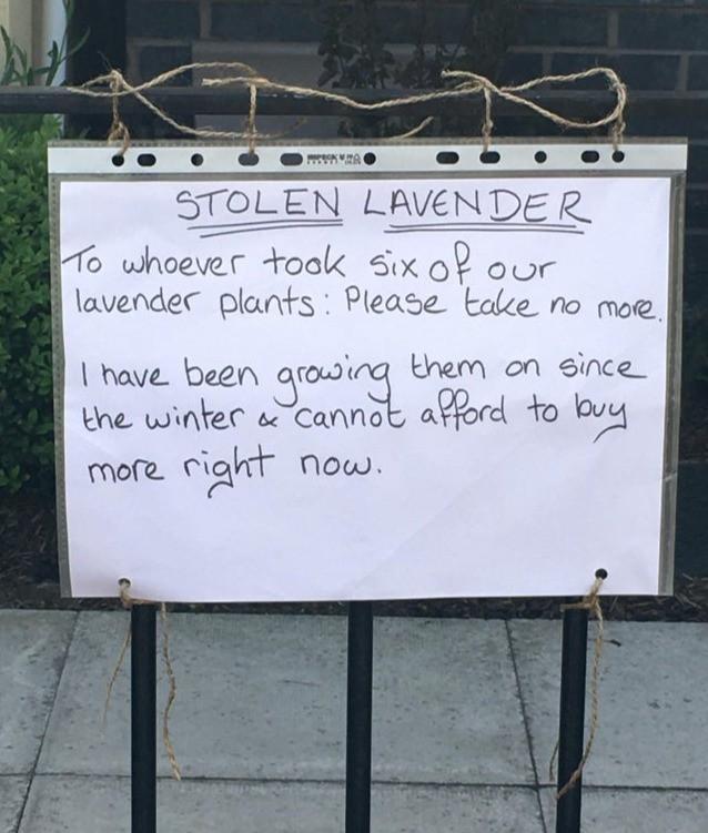 Jemand klaute bei einer Aktion Lavendel aus dem Garten