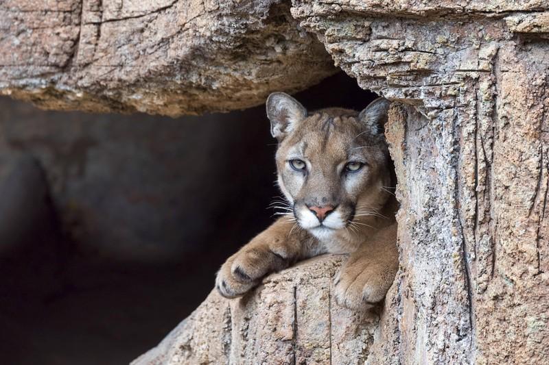 Pumaangriffe sind oft lebensgefährlich.