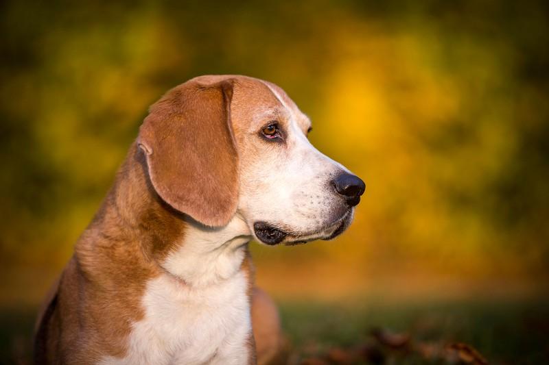 Ein Beagle ist eine Hunderasse