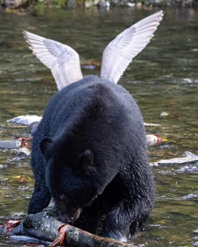 Ein Bär, der so aussieht, als hätte er Flügel