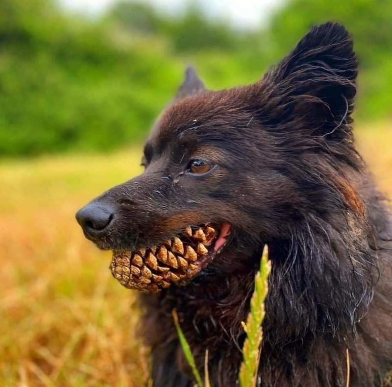 Hund mit einem Tannenzapfen im Mund