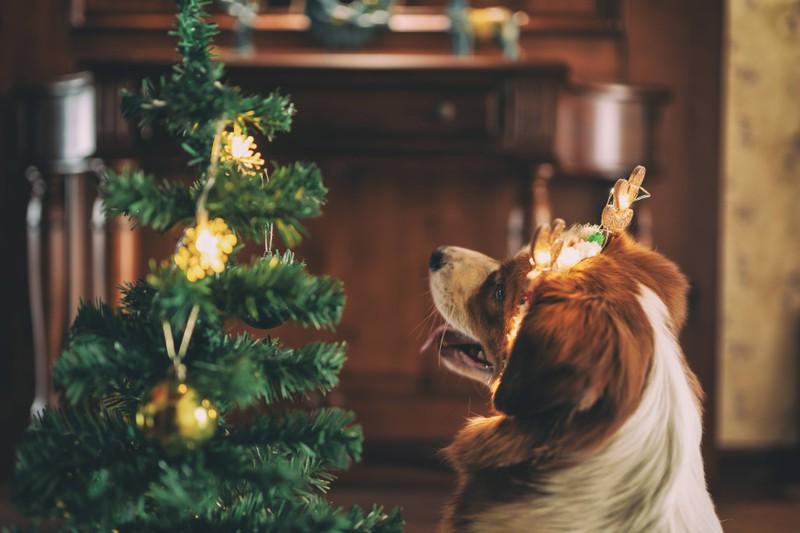 Ein Hund, der an Weihnachten alles versaut hat